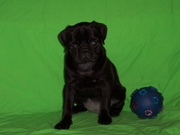 Cute and Adorable Black Pug Puppies Now Available.